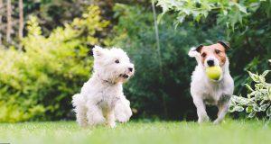 Kaksi koiraa leikkii pallolla puistossa